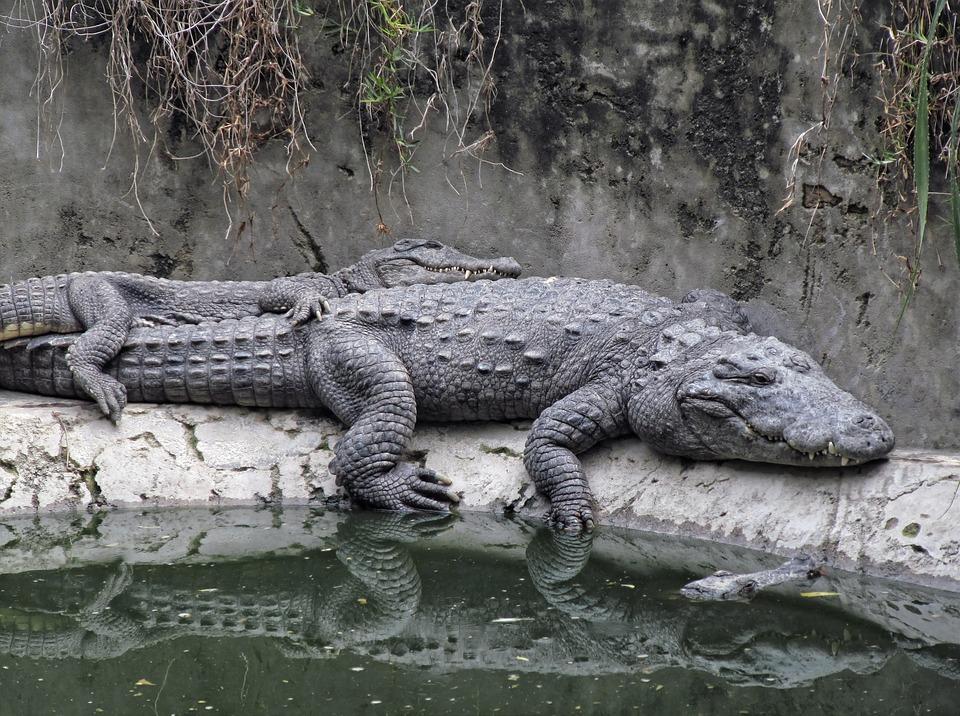 Giải mã giấc mơ thấy cá sấu, mơ thấy cá sấu có đáng sợ không?
